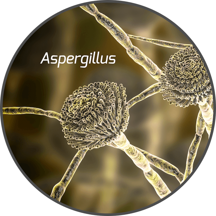mycotoxin-aspergillus-fungi