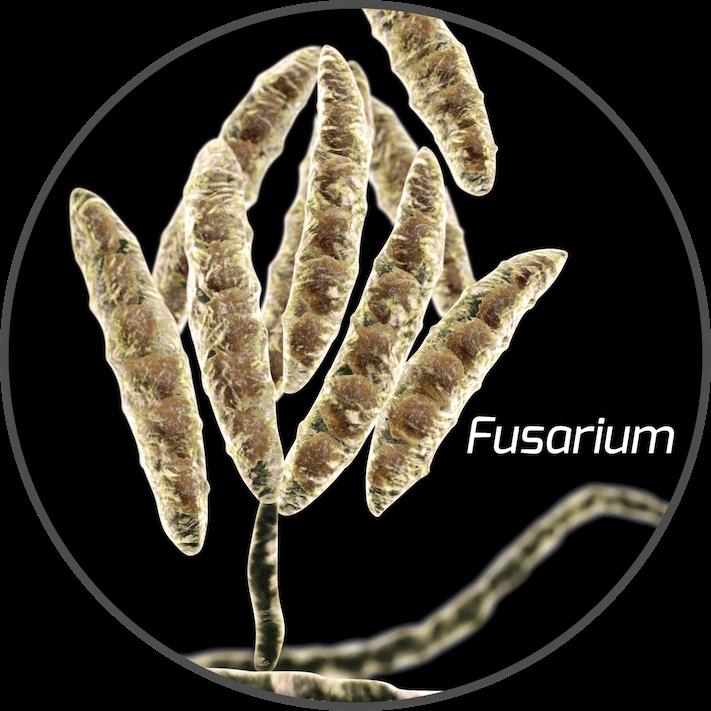 mycotoxin-fusarium-fungi