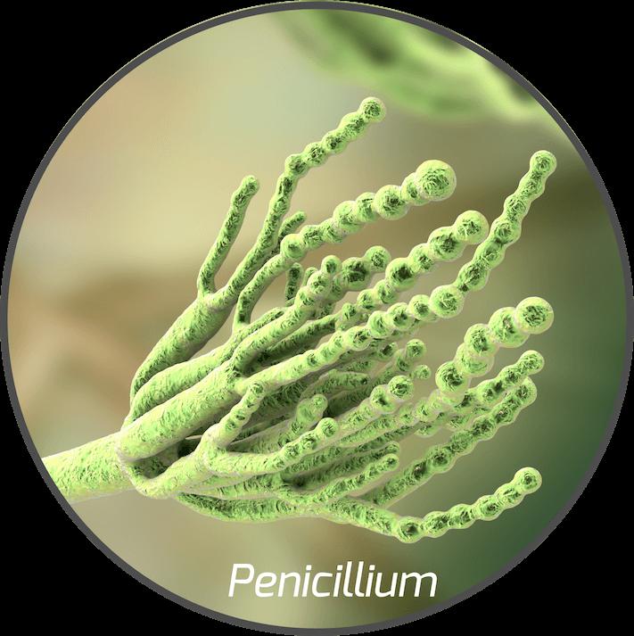 mycotoxin-penicillium-fungi