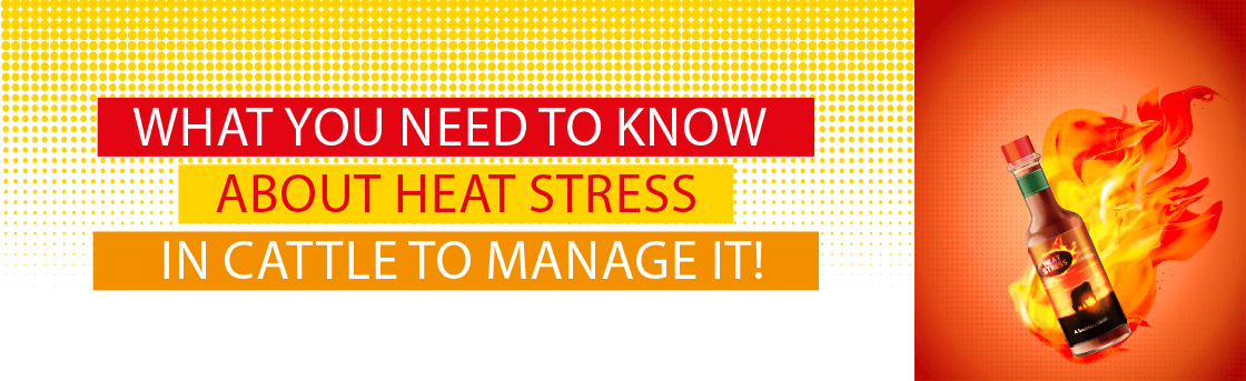 WHAT YOU NEED TO KNOW ABOUT HEAT STRESS IN CATTLE TO MANAGE IT !