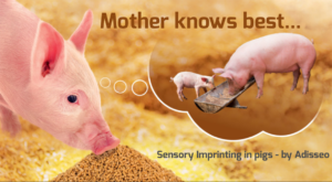 A relatively new approach in piglet nutrition is to see what role sow diets can play in getting the young ones to eat faster. Sensory imprinting plays this role: If sow and weaner diets are linked by the same flavour, young piglets learn to start eating like a pig sooner.